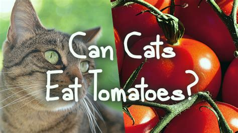 can my eat tomatoes can cats eat tomatoes pet consider