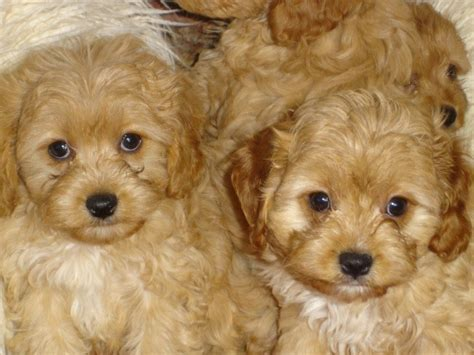 cavapoo puppies for adoption cavapoo f1 puppies for sale adoption from sidney new south wales sydney metro adpost