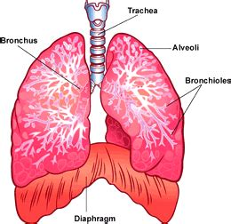 where are your lungs located in your diagram your lungs respiratory system