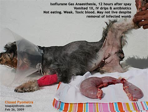 pyometra in dogs 0829asingapore veterinary hyperoestrogenism