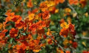 tropical flowering shrubs colorful flowering bush for tropical garden marmalade bush