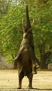Elephant Standing On Hind Legs by Meet The Elephant That Thinks It S A Giraffe Hungry