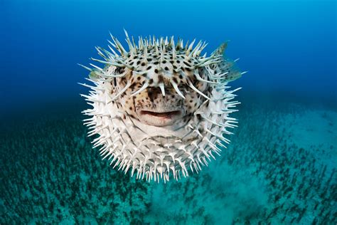 Cute Duvet Spotted Porcupinefish Photograph By Dave Fleetham