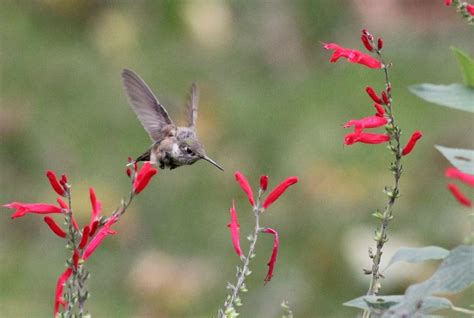 calliope hummingbird pa s 2nd state record by alex