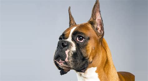 american boxer boxer breed information american kennel club