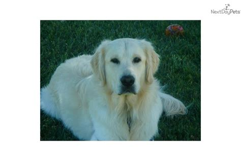 golden retriever puppies seattle for sale golden retriever puppy for sale near seattle tacoma