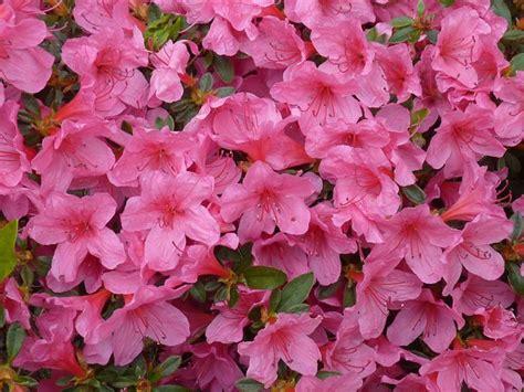 fiori azalee azalea significato significato fiori conoscere il