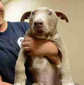 puppy overbite pit bull puppy with overbite needs forever family the dodo
