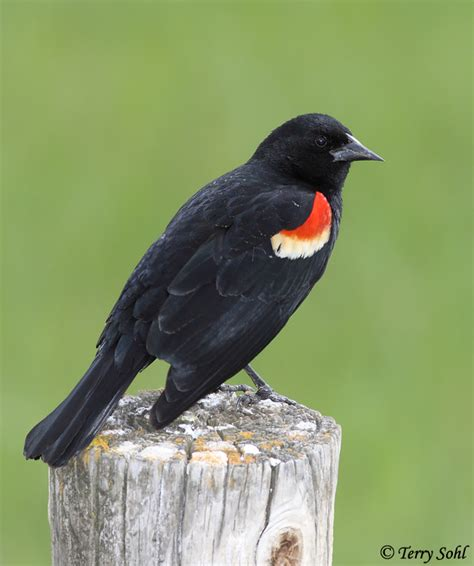 red winged blackbird south dakota birds and birding