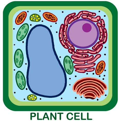 unlabeled cell diagram plant cell not labeled