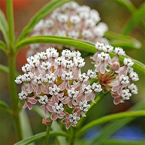 Annie's Annuals & Perennials: Pass the Milkweed! Asclepias Cancellata