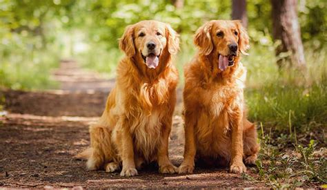 golden retriever food guide meet the golden retriever notebook