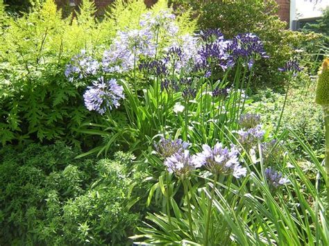 winsford walled garden brilliant blue agapanthus picture of winsford walled