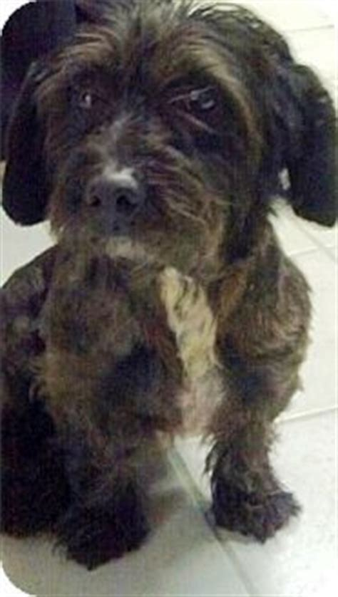 scottish terrier shih tzu mix fo tzu fox terrier mixed with shih tzu pups foxes toys and fox