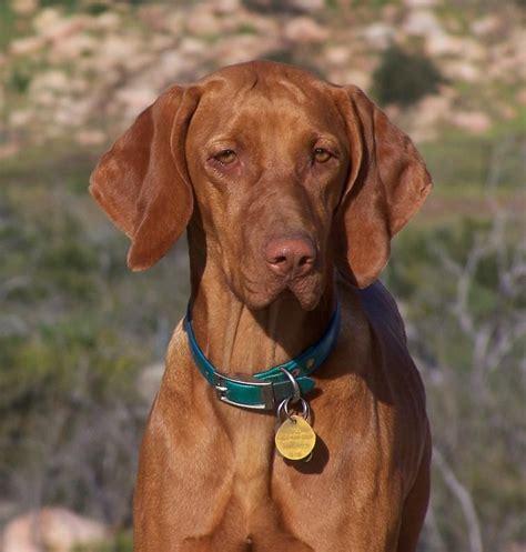 ranch dogs ranch vizsla breeder ramona california