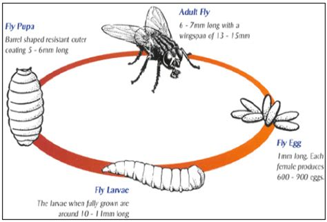 house fly life span flies and fly problems the pig site