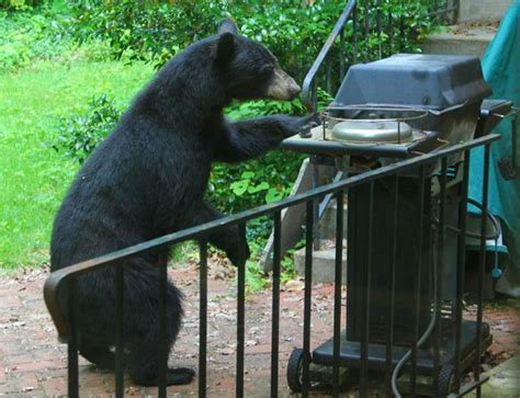 black bear in backyard black bears at grill in north oak ridge trapped at ornl