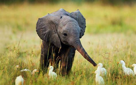 wallpaper elephant cute cute elephant wallpapers wallpapersafari