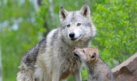 minicuentos de lobos y lobo tibetano caracter 237 sticas qu 233 come d 243 nde vive