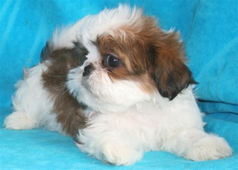 shih tzu puppies for sale indiana nursery indiana shih tzu puppies for sale in akc shih tzu