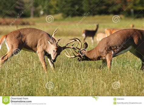 image buck two whitetail deer bucks fighting stock image image