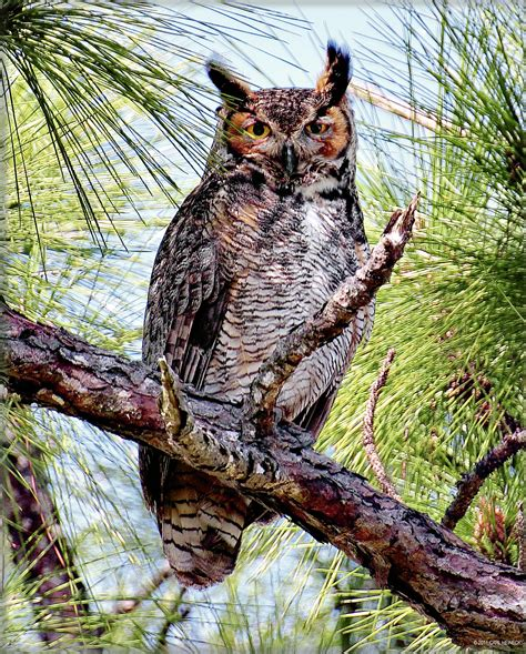 photography for sale florida great horned owl artsyhome