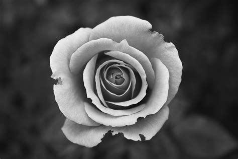 best black and white photo free stock photo of black and white bloom blossom