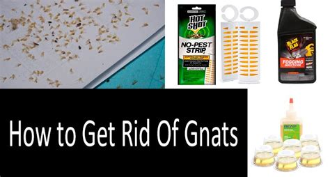 rid  gnats   house effectively