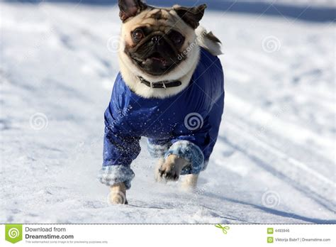 pug running running pug royalty free stock image image 4493946