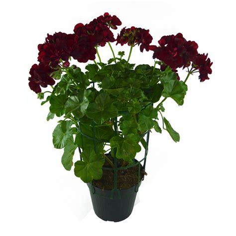 edera da vaso geraneo edera vaso 14 floricoltura magnani di magnani