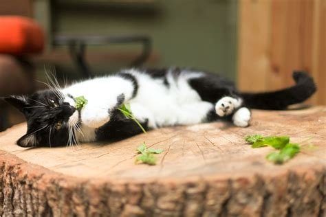 does catnip affect dogs how catnip affects cats and its use as a tool