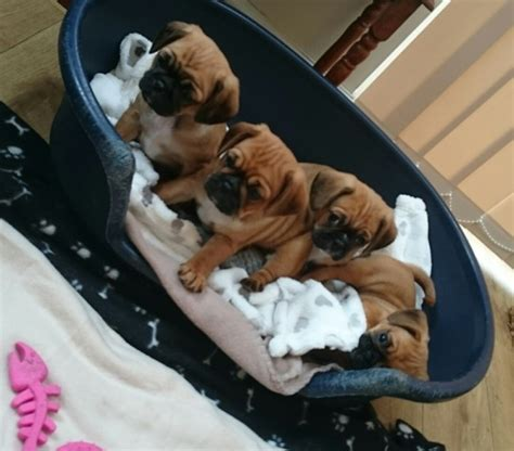 pug x cavalier king charles stunning pug x cavalier king charles puppies uttoxeter staffordshire pets4homes