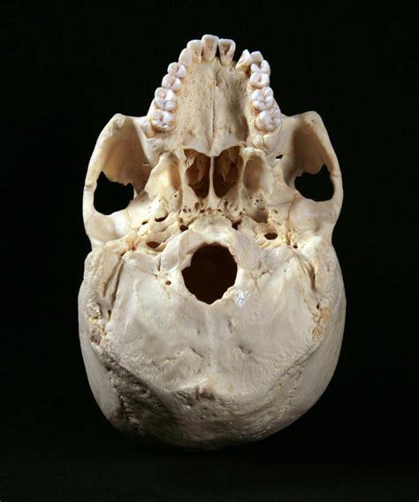 Skull L by Bottom View Skull Specimen L