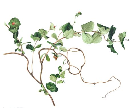 watercolor vine tattoos ku mie autumn 2011 nature artists guild