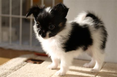 puppies for sale in tallahassee papillon puppies for sale tallahassee fl 254402