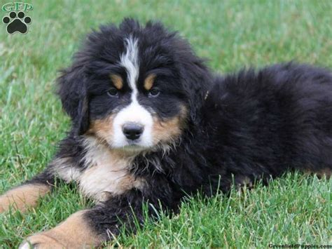 bernese mountain puppies for sale in pa 1000 images about bernese mountain dogs puppies on puppys bernese
