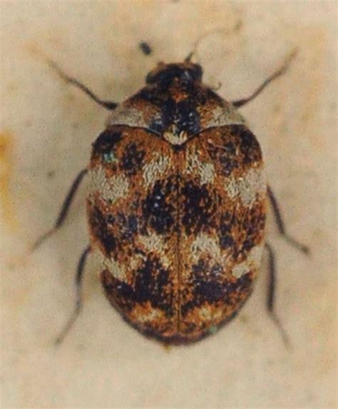 Brown Carpet Beetles by Carpet Beetle The Study