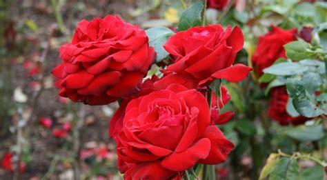 Pembersih Air Mawar manfaat bunga mawar untuk kesehatan petani hebat