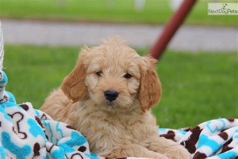 goldendoodle puppies near me goldendoodle puppy for sale near lancaster pennsylvania fed58f87 fd61