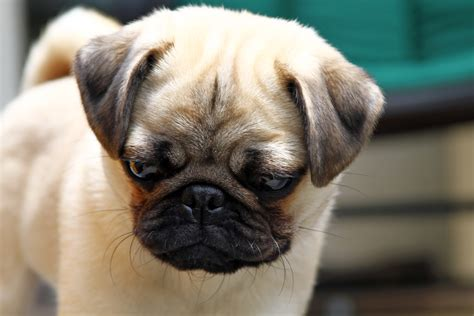 looking pugs pug portrait pepper looking nicko s big picture