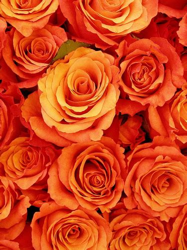colorful flowers picture orange flowers in bloom light gathering roses orange flickr photo