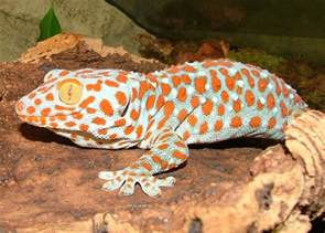 the malaysian life tokay geckos for sale
