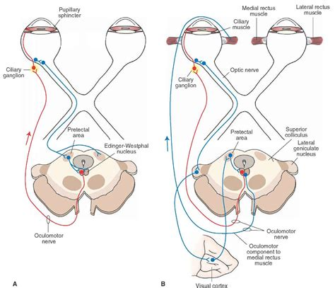 Pupillary Light Reflex the cranial nerves organization of the central nervous system part 4