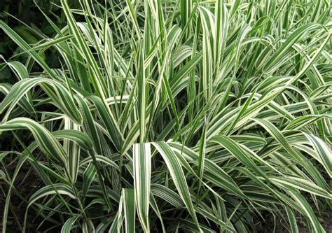 bear creek nursery grasses sedges common plant names