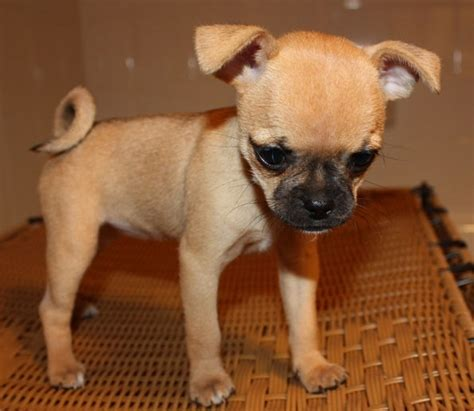 pug mix pomeranian chihuahua mix pug pomeranian puppies mixed picture breeds picture