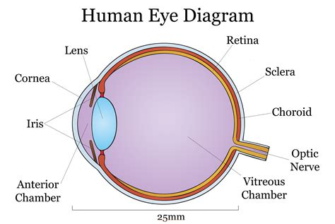 a diagram of a eye the myopia epidemic understand myopia