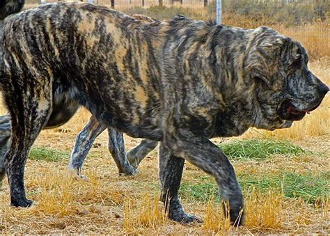 brindle colored dogs livestock guardian dogs and quot the brindle factor quot