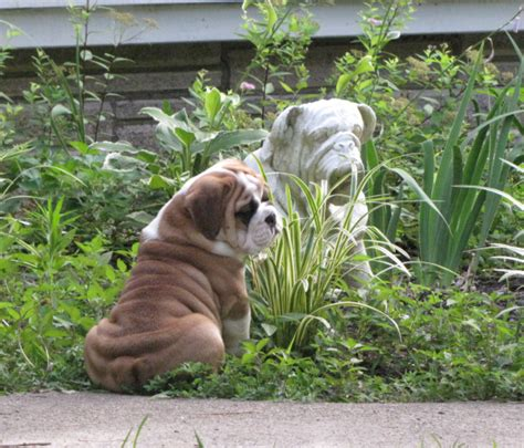 bulldog puppies for sale in tn akc bulldog puppies for sale tn tennessee akc bulldogs reputable