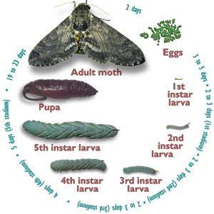 tobacco hornworm pictures