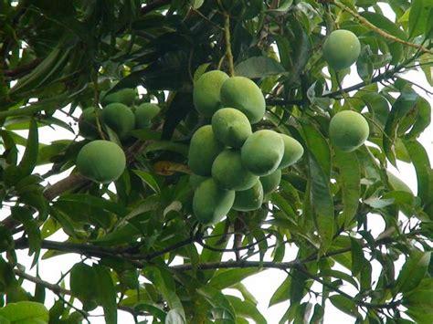 mango tree with fruits mango varieties on mango trees and fruit trees